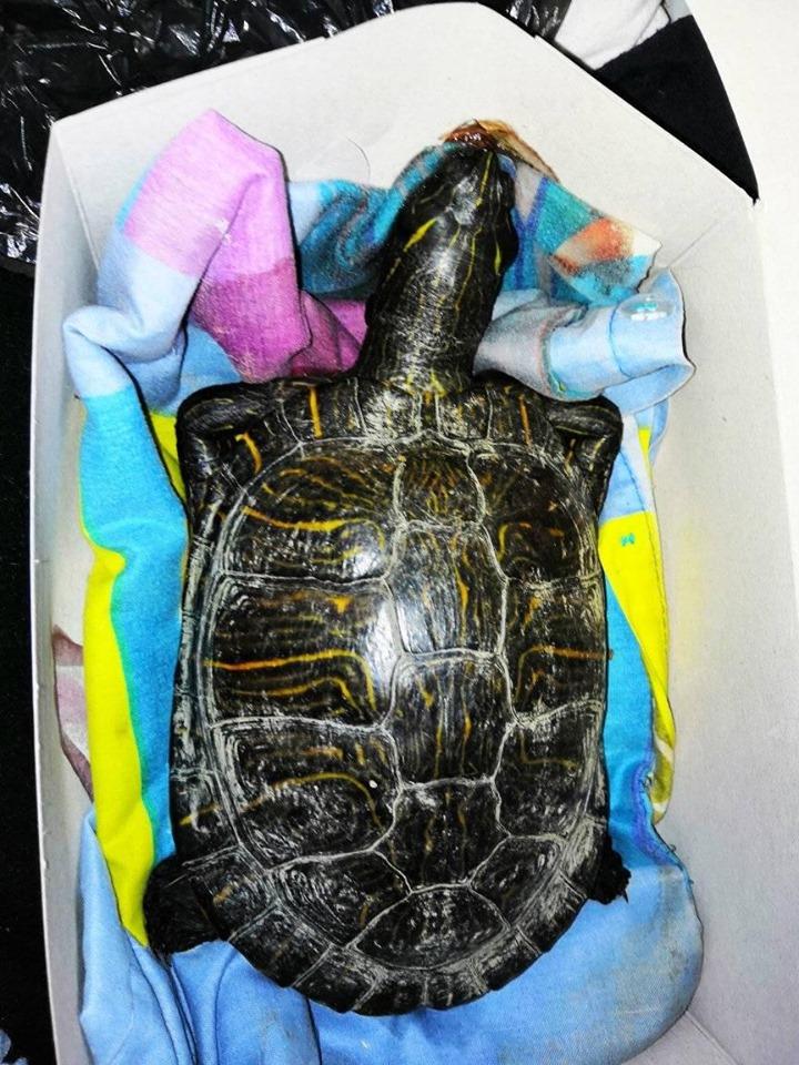 Nalezená želva nádherná